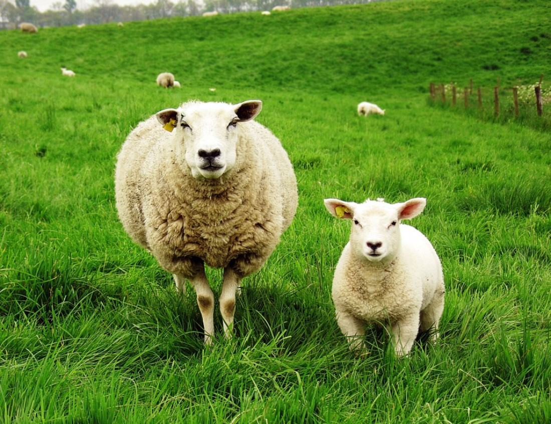 Что можно заработать, выращивая овец в Украине?