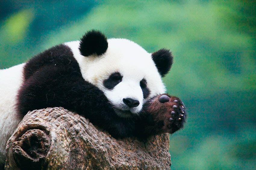 Pandas in China are no longer endangered